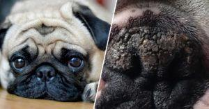 6 Natural Ingredients To Soothe Your Pug's Dry & Cracked Nose