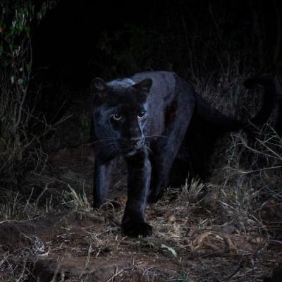 Rare black leopard captured in new images from Kenya