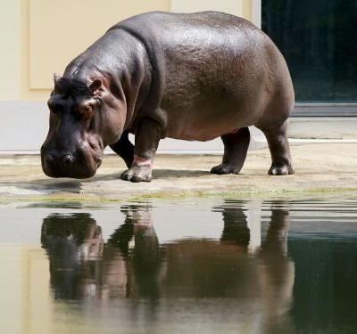 Police are investigating after a video of a man slapping a hippo's butt at a Los Angeles zoo went viral