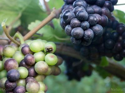 """Grapes have long been hailed as the """"food of the goods"""". they contain powerful antioxidants that protect your health"""