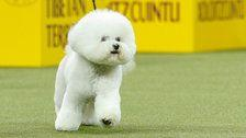Bichon Frise Named Best In Show At Westminster Kennel Club Dog Show