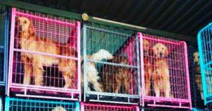 Minnesota Rescue Saves Golden Retrievers from Chinese Dog Meat Trade