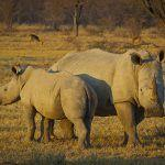 Genetic Rescue of the Northern White Rhino