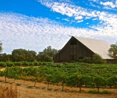 A close look at the fruits of Grenache, Syrah, Mourvèdre and Cinsaut in Lodi's vineyards