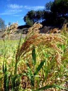 Two New Reference Genomes Expand Potential for Millet as Super Cereal Crop