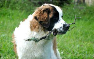 10 Dog Breeds Known For Hip Problems And How To Help Them