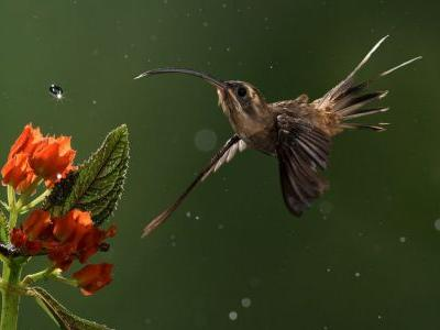 """Brainpower Wins Over Brawn When Male """"Hermit"""" Hummingbirds Display for Mates"""