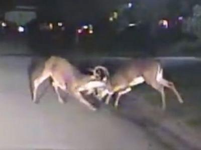 Wild deer street fight caught on camera