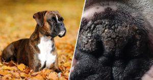 6 Natural Ingredients To Soothe Your Boxer's Dry & Cracked Nose