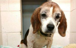 Sweet Senior Dog Is Looking For A Loving Home To Spend His Last Holiday Season