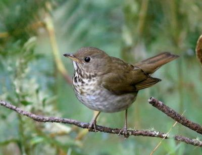 First-of-its-Kind Reserve for Bicknell's Thrush in the Dominican Republic