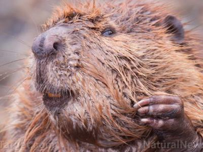 Why beavers could be the key to negating the effects of environmental pollution