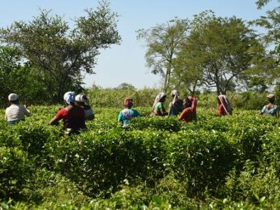 Tea Farmer In India Leads Charge For Organic, Evades The Charge Of Elephants