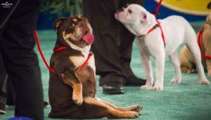The American Rescue Dog Show Is Like Westminster For Rescue Pups!