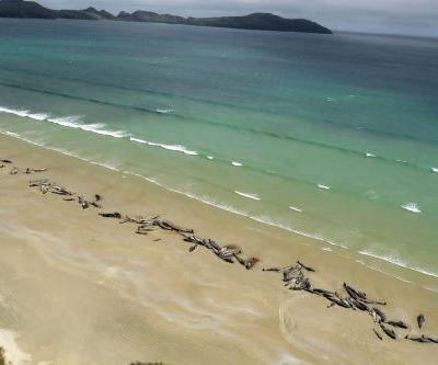 Over 140 whales die after mass stranding in New Zealand