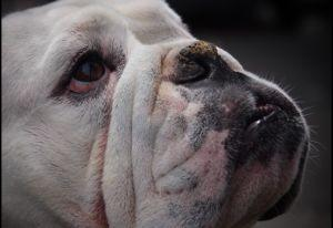 How To Protect & Soothe Your Flat-Faced Dog's Sensitive Nose
