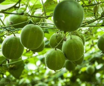 Research proves the healing potential of monk fruit on cancer patients