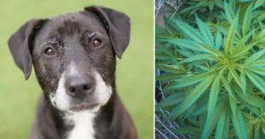 4 Reasons Senior Dog Owners Are Flocking to CBD Oil