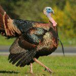 Why are there so many wild turkeys in Massachusetts now?