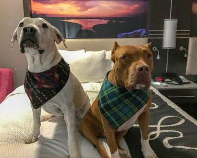Tips for Traveling with Pitbulls
