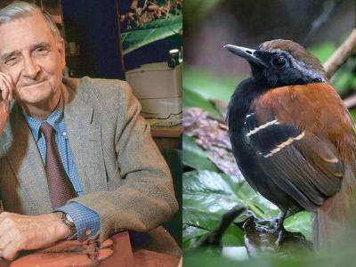 New Antbird named for E.O. Wilson
