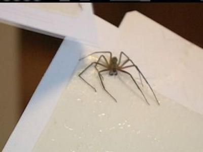 Tennessee woman finds nearly 50 brown recluse spiders in her bedroom