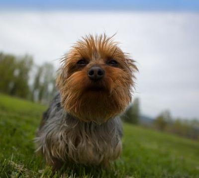 """COCO"" confident friendly yorkie"