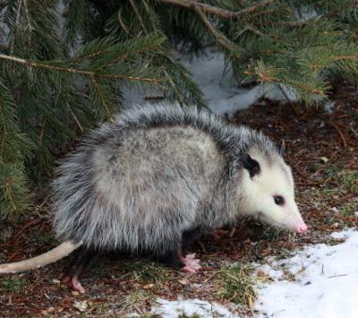 Opossum breaks into liquor store and gets drunk as a skunk