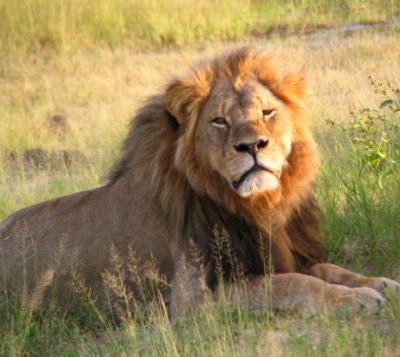 Cecil The Lion Murder Appointed By Donald Trump To Wildlife Conservation Council Is False