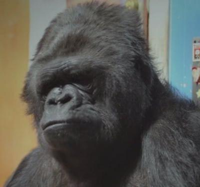 Koko, the gorilla who knew sign language, has died - and people are memorializing her online