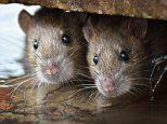 Over 100 hospital admissions for deadly infection spread in RAT'S URINE last year