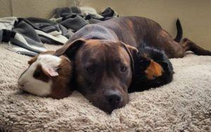 Rescued Pibble Is Completely In Love With Her Guinea Pig Sisters
