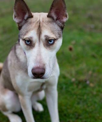 """SHEENA"" blue eyed Husky mix"