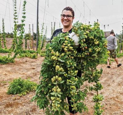 The Hop Growing Process Behind the Perfect Pint of Beer