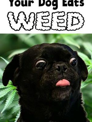 What to do if your dog eats weed?