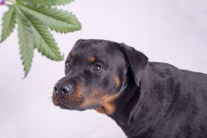 5 Reasons CBD Oil For Dogs Is Exploding In Popularity