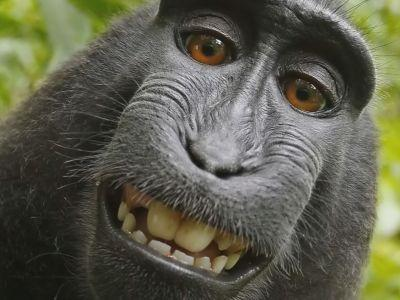Monkey does not own selfie copyright, appeals court rules