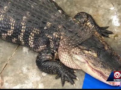 Big alligator seized during eviction uneasy in new home