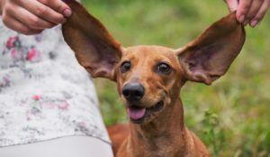 Is Your Dog's Breed Listed Here? Then Make Sure You Clean Their Ears WEEKLY
