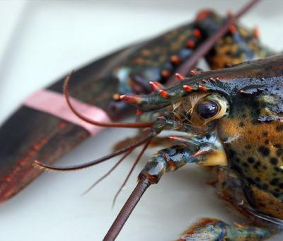 Switzerland Bans Practice of Boiling Lobsters Alive Without Stunning First