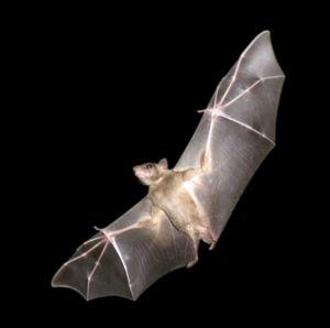 Egyptian Rousette Bat Genome Provides Clues to Antiviral Mystery