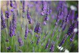 9 Amazing Uses For Lavender Essential Oil