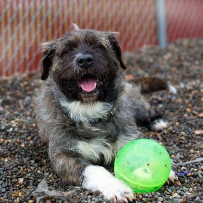 """NORBURT"" awesome med size shaggy terrier mix"