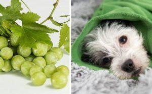 Why You Should Never Let Your Dogs Eat Grapes