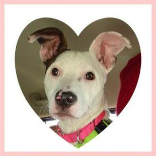 """""""HEART"""" aka """"MARSHMELLOW"""" - In Foster Home - teenage american shelter dog mix"""