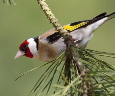 Top 25 Birds with Red Plumage