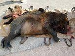 Gruesome picture shows bloodied mother grizzly and two cubs after they were killed by car in Montana