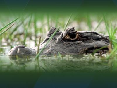 Woman believed to have been fatally attacked by alligator while walking dog