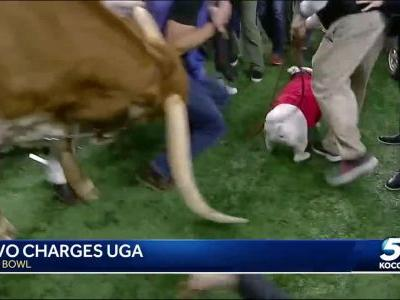 Texas Longhorns' mascot topples barricade, charges Georgia bulldog