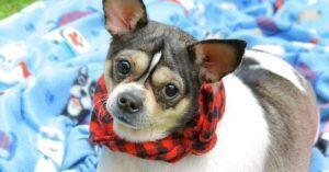 Abandoned, Handicapped Chihuahua Finds Loving Foster Home